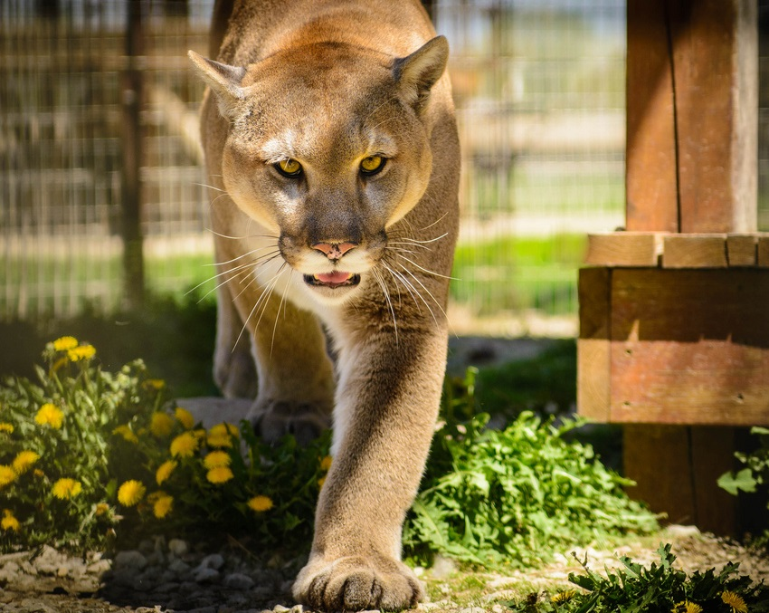 这位妈妈为救儿子,活生生掰开美洲狮的嘴…